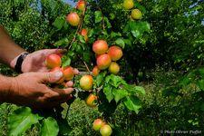 Fruits produits au Pays de Serre-Ponçon